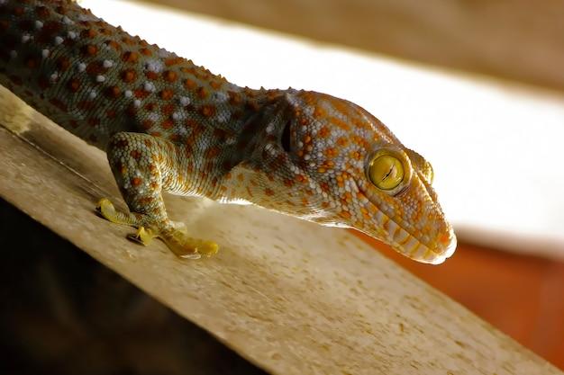Gecko appelant gecko gecko asiatique tropicale