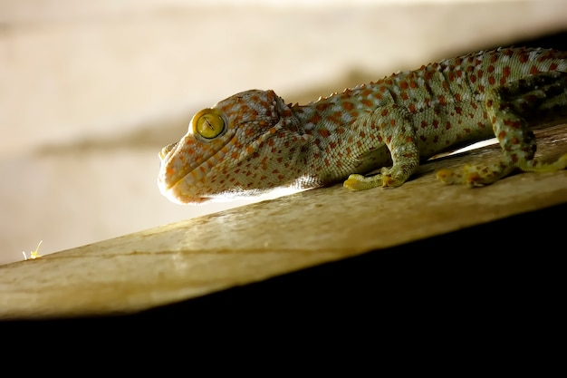 Gecko appelant gecko gecko tropical asiatique