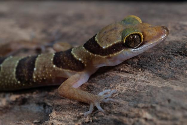 Gecko à bout couru de dumnui: cyrtodactylus dumnuii