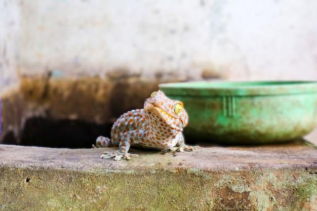 Gecko est tombé du mur dans le réservoir d'eau et a grimpé sur le bord du bassin