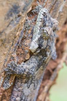 Gecko glissant à dos lisse ou ptychozoon lionotum