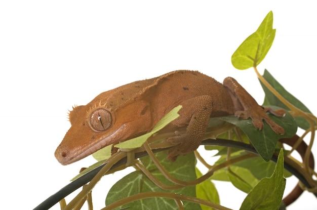 Gecko huppé en studio