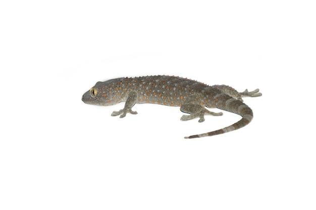 Gecko isolé sur le fond blanc