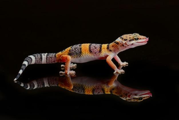 Gecko léopard sur une branche libre
