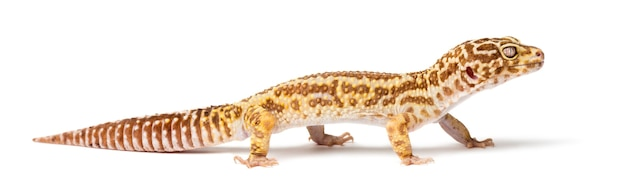 Gecko léopard, eublepharis macularius, close up contre l'espace blanc