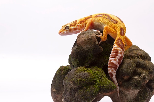 Gecko léopard sur fond blanc