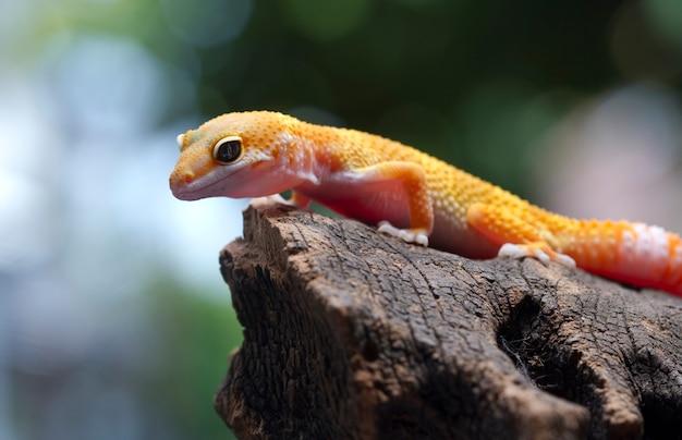Gecko léopard sur fond naturel