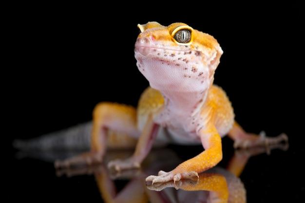 Gecko léopard sur fond noir