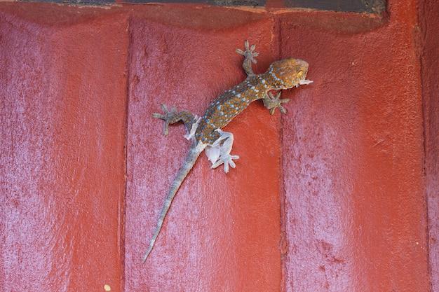 Gecko mue la vieille peau