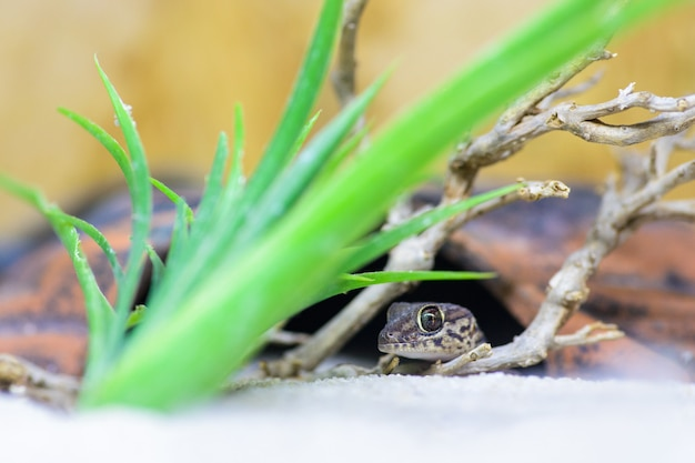 Un gecko (pareodura pictus) dans sa cachette