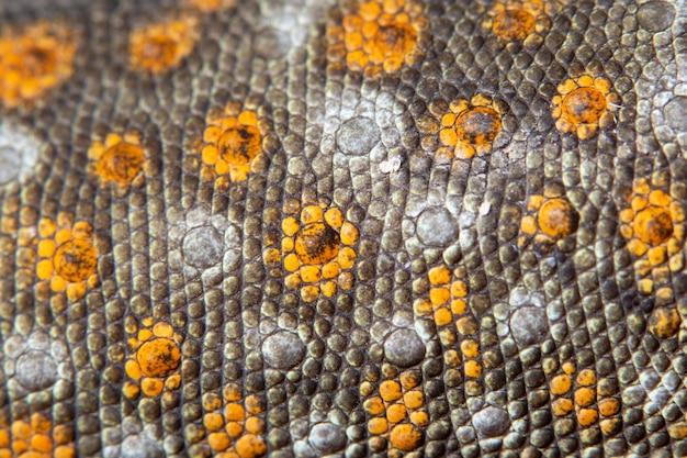 Gecko de peau macro