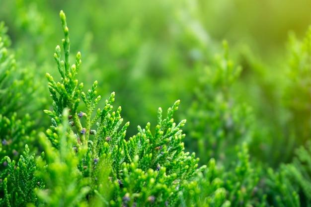 Genévrier vert fond closeup, feuilles vertes fraîches texture