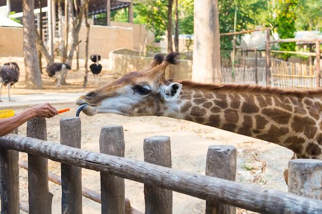 Les gens nourrissent la girafe