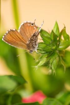 Géranium bronze ou papillon brun des plargoniums cacyreus marshalli