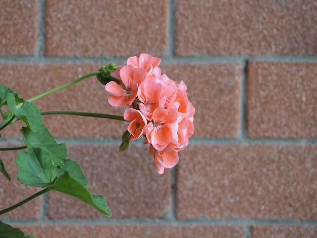 Géranium (géraniums) plante fleur rose