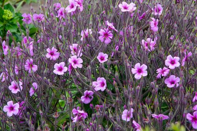 Geranium maderense yeo poussant à l'état sauvage à madère