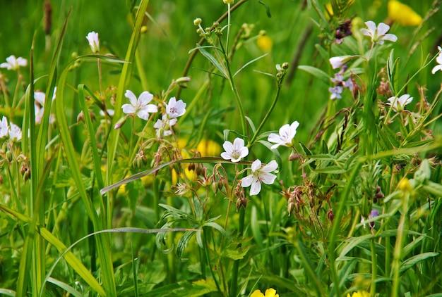 Geranium pratense plante herbacée vivace à floraison rustique du genre geranium.