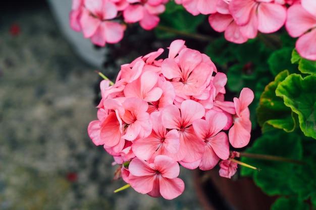Géranium rose se bouchent. bourgeon floral