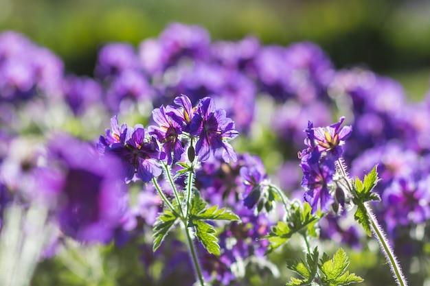 Géraniums en fleurs dans le jardin