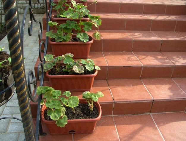 Les géraniums de fleurs sont plantés dans des pots de fleurs et se tiennent sur les marches bel intérieur près de la maison