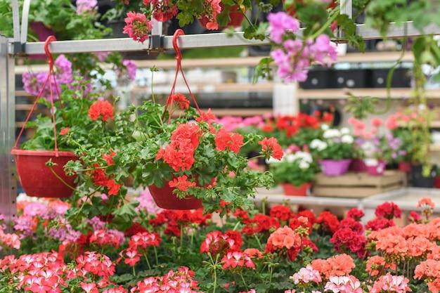 Géraniums rouges suspendus dans les pots dans un magasin de fleurs
