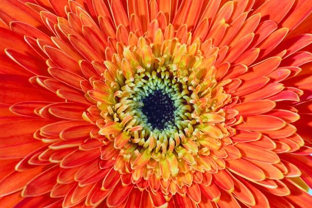 Gerbera fleur rouge isolé sur fond blanc