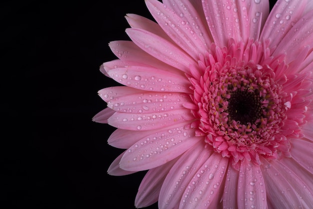 Gerbera fleurs isolé sur fond noir