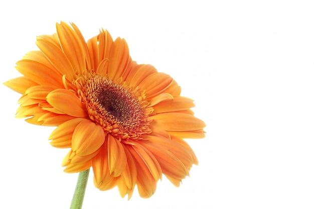 Gerbera de fleurs. isolement sur blanc
