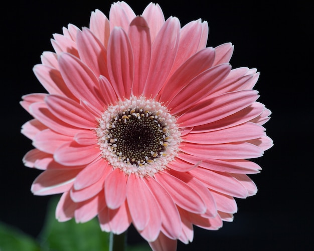 Gerbera flower background et printemps