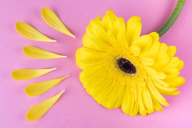Gerbera jaune vif sur un fond rose pastel. autour de la fleur sont des pétales comme les rayons du soleil.