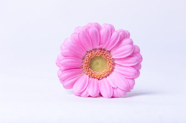 Gerbera rose sur fond blanc avec des gouttes d'eau. gros plan, mise au point sélective, isoler.