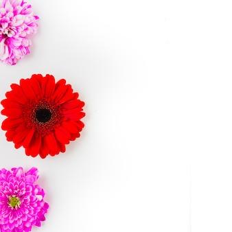 Gerbera rouge avec deux chrysanthèmes roses sur fond blanc