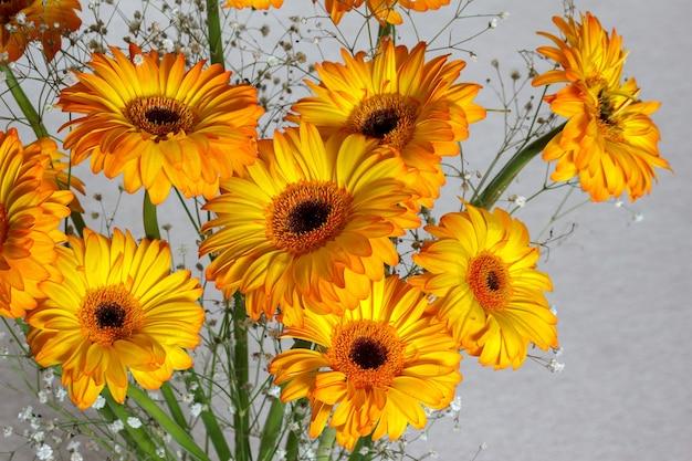 Gerberas dorés (asteraceae) brillant dans la lumière