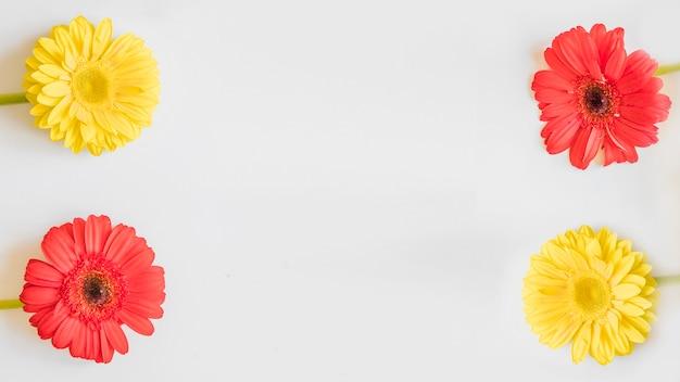 Gerberas lumineux sur blanc