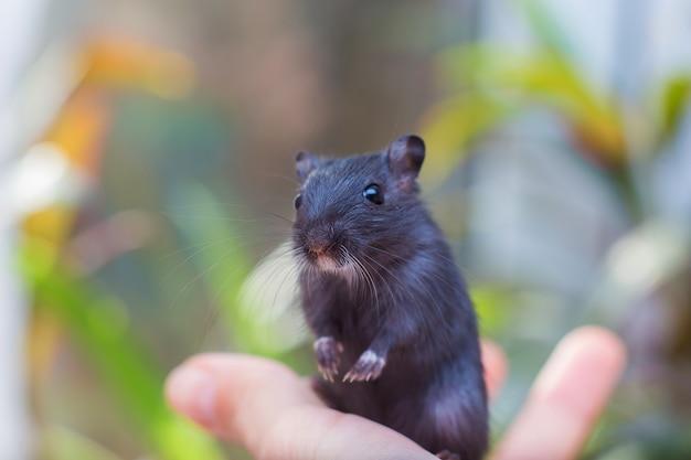 La gerbille de la souris noire est assise sur une main.