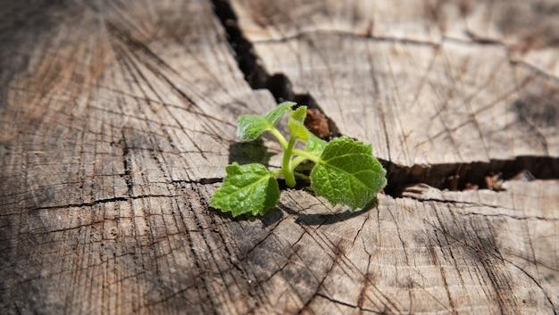 Germer d'une fissure dans le tronc d'un arbre coupé gris