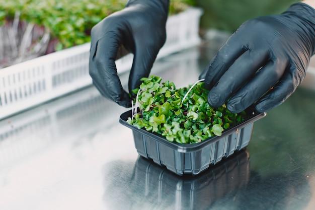 Germes de coriandre corindon microgreen dans les mains des hommes. pousses crues, microgreens, concept d'alimentation saine. l'homme emballe dans des boîtes.