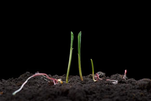 Germes de maïs. nouveau concept de vie. des semis verts apparaissent du sol au printemps. fermer. fond noir