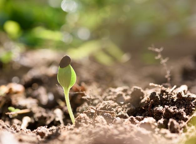 Germes de pastèque poussant hors du sol noir avec la lumière du soleil au printemps matin