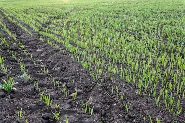 Germes récemment germés de blé et de seigle dans un champ agricole, produits agricoles et cultures