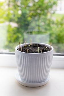 Germes de salade micro-verts dans un espace de copie en pot en céramique blanche. alimentation biologique et bonne nutrition