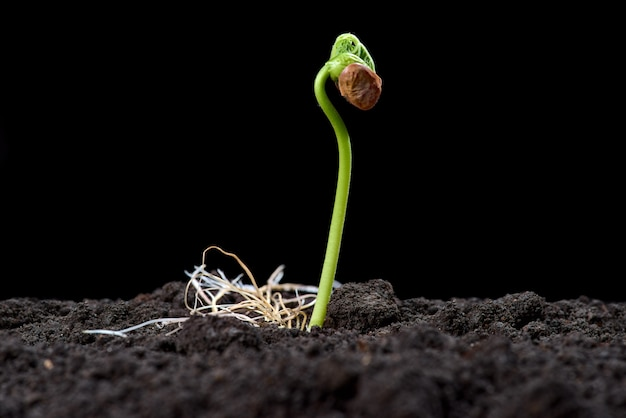 Germes de soja. nouveau concept de vie. des semis verts apparaissent du sol au printemps. fermer. fond noir