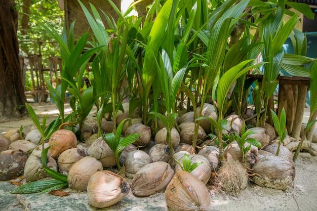 Germination de cocotier surgit de la noix de coco