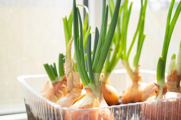La germination des oignons verts dans un emballage en plastique. oignons poussant dans des conteneurs recyclés.