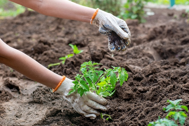 Germination plantée de semis germés