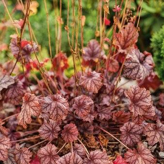 Geyhera belles plantes de geyhera fond naturel de feuilles d'automne marron clair