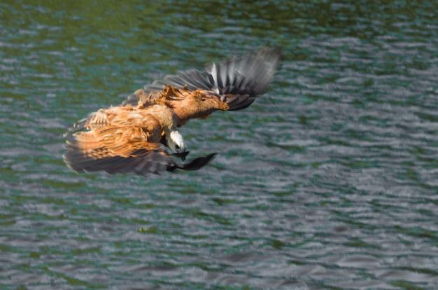 Giant hawk dans la zone humide brésilienne