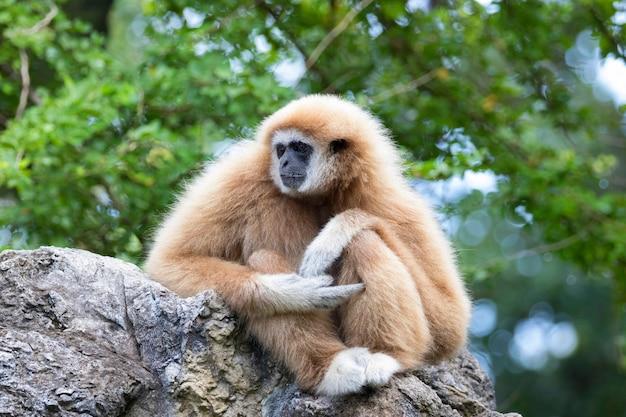 Un gibbon assis sur des rochers