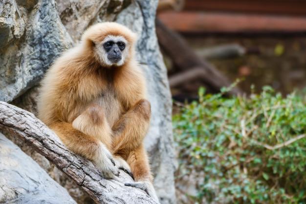Gibbon (hylobates lar), chiangrai, thaïlande
