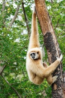 Gibbon (hylobates lar) grimper arbre dans la forêt